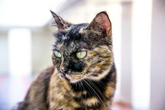 Portrait of Thai cat. Background royalty free stock images