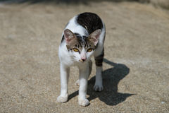 Portrait Thai cat outdoor Royalty Free Stock Photos