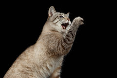 Portrait of Thai Cat Raising up Paw with opened mouth Royalty Free Stock Photo