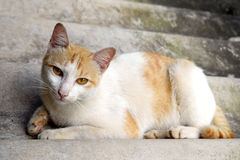 Portrait of Thai cat is Sleeping on the roof tile , Thailand. Royalty Free Stock Images