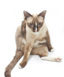Portrait of Thai cat 7 years old cleaning her self in front. Royalty Free Stock Photography