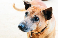 Portrait of the thai dog with eye injury. This is portrait of the thai dog with eye injury stock photography