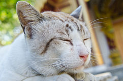 Portrait of Thai white cat Royalty Free Stock Photos