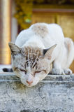 Portrait of Thai white cat Stock Photo