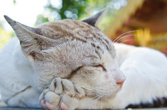 Portrait of Thai white cat Royalty Free Stock Photo