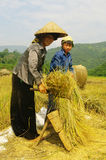 Portrait of a Thai woman in the harvest. Stock Photos