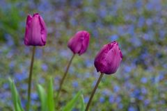 Portrait of thee purple tulips growing in a home garden against a background of blue veronica speedwell groundcover plants, spring. Time in the Pacific Northwest royalty free stock photography