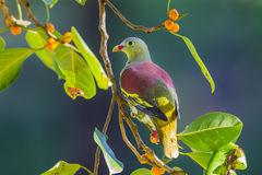 Portrait of Thick-billed Green Pigeon Stock Photo
