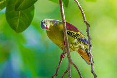 Portrait of Thick-billed Green Pigeon Royalty Free Stock Photo