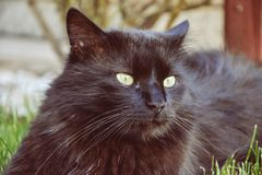 Portrait of thick long hair black Chantilly Tiffany cat relaxing in the garden. Close up of fat tomcat Royalty Free Stock Image