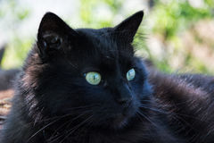 Portrait of thick long hair black Chantilly Tiffany cat relaxing in the garden. Closeup of fat tomcat with stunning big green eyes Stock Images