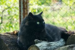 Portrait of thick long hair black Chantilly Tiffany cat relaxing in the garden on wood logs. Close up of fat tomcat Royalty Free Stock Photo