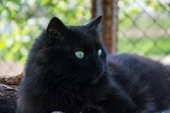 Portrait of thick long hair black Chantilly Tiffany cat relaxing in the garden on wood logs. Close up of fat tomcat Royalty Free Stock Image