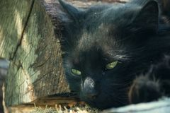 Portrait of thick long hair black Chantilly Tiffany cat relaxing in the garden on wood logs. Close up of fat tomcat Royalty Free Stock Photos