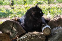 Portrait of thick long hair black Chantilly Tiffany cat relaxing in the garden on wood logs. Close up of fat tomcat Royalty Free Stock Photography