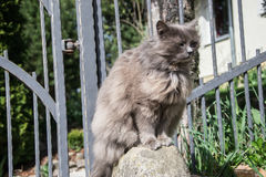 Portrait of thick long-hair gray Chantilly Tiffany cat relaxing in the garden. Close up of fat female cat with large long hair Stock Photography