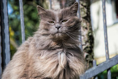 Portrait of thick long-hair gray Chantilly Tiffany cat relaxing in the garden. Close up of fat female cat with large long hair Stock Photos