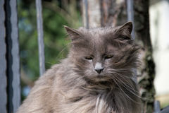 Portrait of thick long-hair gray Chantilly Tiffany cat relaxing in the garden. Close up of fat female cat with large long hair Royalty Free Stock Image