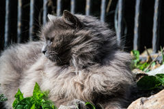 Portrait of thick long-hair gray Chantilly Tiffany cat relaxing in the garden. Close up of fat female cat with large long hair Royalty Free Stock Photo