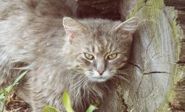 Portrait of thick long haired gray Chantilly Tiffany cat relaxing in the garden. Close up of fat tomcat Royalty Free Stock Photos