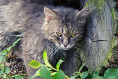 Portrait of thick long haired gray Chantilly Tiffany cat relaxing in the garden. Close up of fat tomcat Royalty Free Stock Photo