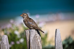 Portrait of thief sparrow on the beach Stock Images