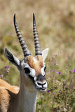 Portrait of Thomson's gazelle Royalty Free Stock Image