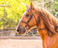 Sorrel horse. Side view head shot of a bay stallion. Portrait of a thoroughbred bridled horse, blur green trees background, selective focus. Equestrian sport stock image
