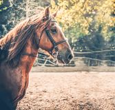 Sorrel horse. Side view head shot of a bay stallion. Portrait of a thoroughbred bridled horse, blur green trees background, selective focus. Equestrian sport Stock Photo
