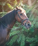 Sorrel horse. Side view head shot of a bay stallion. Portrait of a thoroughbred bridled horse, blur green trees background, selective focus. Equestrian sport royalty free stock photos