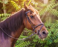 Sorrel horse. Side view head shot of a bay stallion. Portrait of a thoroughbred bridled horse, blur green trees background, selective focus. Equestrian sport royalty free stock photo