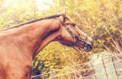Sorrel horse. Side view head shot of a bay stallion. Portrait of a thoroughbred bridled horse, green trees background, Equestrian sport royalty free stock photo
