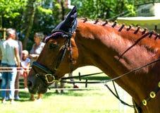Portrait of a thoroughbred chestnut stallion Royalty Free Stock Photos
