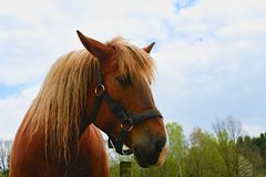 Portrait of a thoroughbred chestnut stallion. Horse head Stock Image