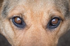 Portrait of thoroughbred dog, attentive focused look_ stock photography