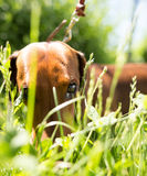 A portrait of a thoroughbred dog in nature Royalty Free Stock Photo