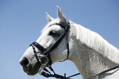Portrait of a thoroughbred gelding Stock Images
