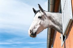 Portrait of thoroughbred gray horse in stable window. Portrait of thoroughbred gray horse looking out of stable window on a blue sky background. Multicolored Stock Photo