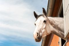 Portrait of thoroughbred gray horse in stable window. Portrait of thoroughbred gray horse in stable window on a blue sky background. Multicolored summertime Stock Photo