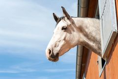 Portrait of thoroughbred gray horse in stable window. Portrait of thoroughbred gray horse in stable window on a blue sky background. Multicolored summertime Royalty Free Stock Photos