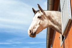 Portrait of thoroughbred gray horse in stable window. Portrait of thoroughbred gray horse in stable window on a blue sky background. Multicolored summertime Royalty Free Stock Photo