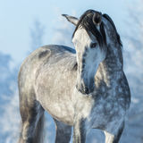 Portrait of thoroughbred gray stallion in winter forest. On a blue sky background. Multicolored wintertime square outdoors image stock image