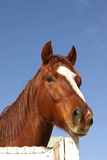 Portrait of Thoroughbred Horse Stock Image