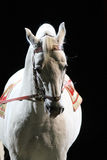 Portrait of a thoroughbred lipizzaner horse Stock Photo