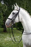 Portrait of a thoroughbred young lipizzaner horse Royalty Free Stock Photography