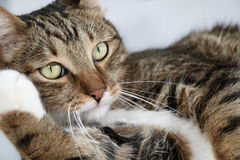 Portrait of a thoughtful domestic cat Royalty Free Stock Photo