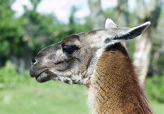 The portrait of the thoughtful llama Royalty Free Stock Photos