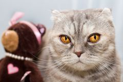 Portrait of a thoughtful tabby cat with a toy bear in a bow and beads. royalty free stock image