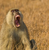 Portrait of a threatening Yellow Baboon Royalty Free Stock Photos