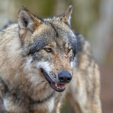 Portrait of a Threathening Grey Wolf Stock Images